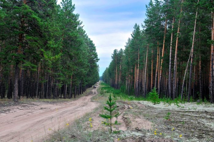 sosnovye-lentochnye-bory-700x465