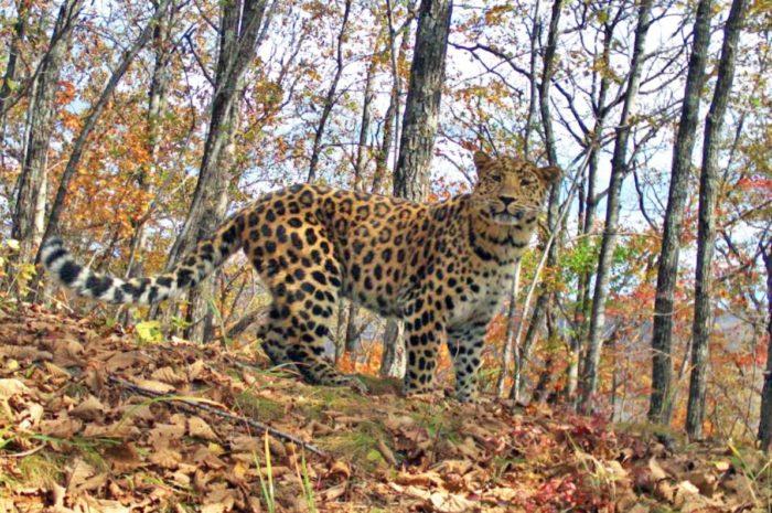 leopardovyj-700x465