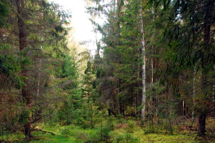 lopasnenskij-elovyj-ostrov-700x467