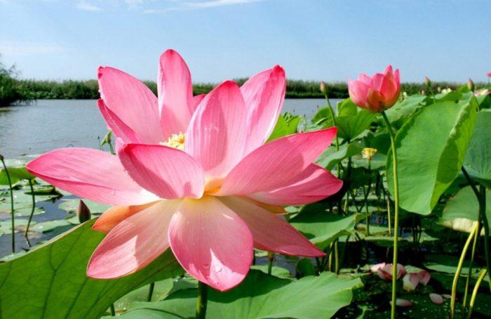 lotosnye-polya-700x454