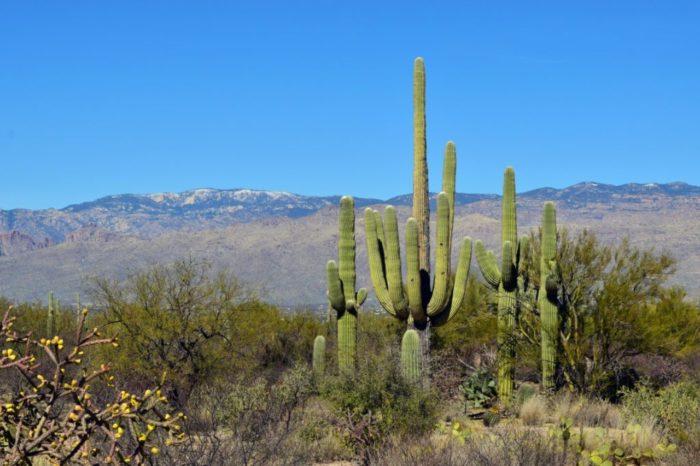 saguaro-700x466