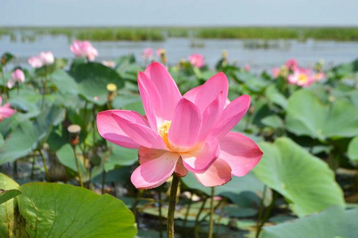 lotosovye-polya-v-delte-volgi-700x467